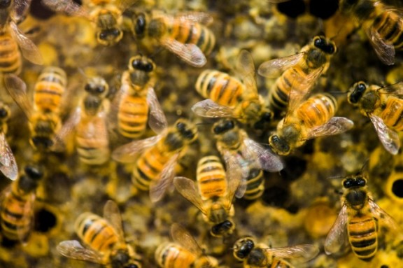 Honeybees and Dystopia